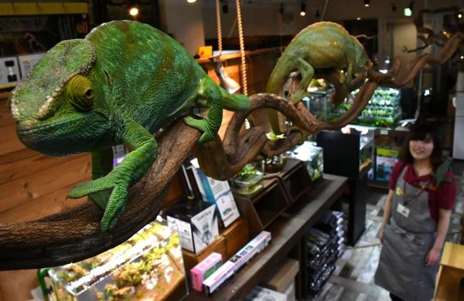 カメレオン、店に溶け込む 帯広「Gecko」