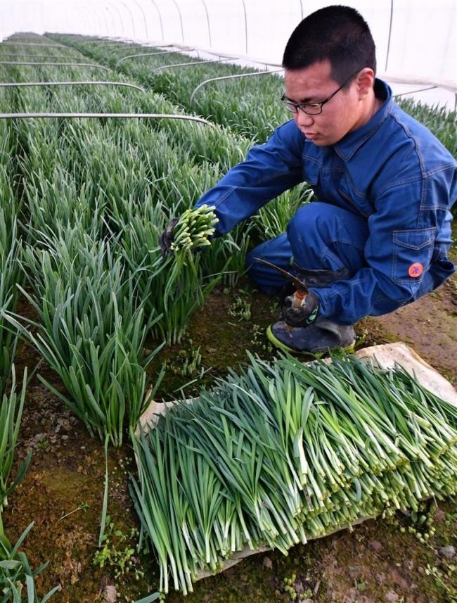 香る春ニラ 収穫盛ん 幕別