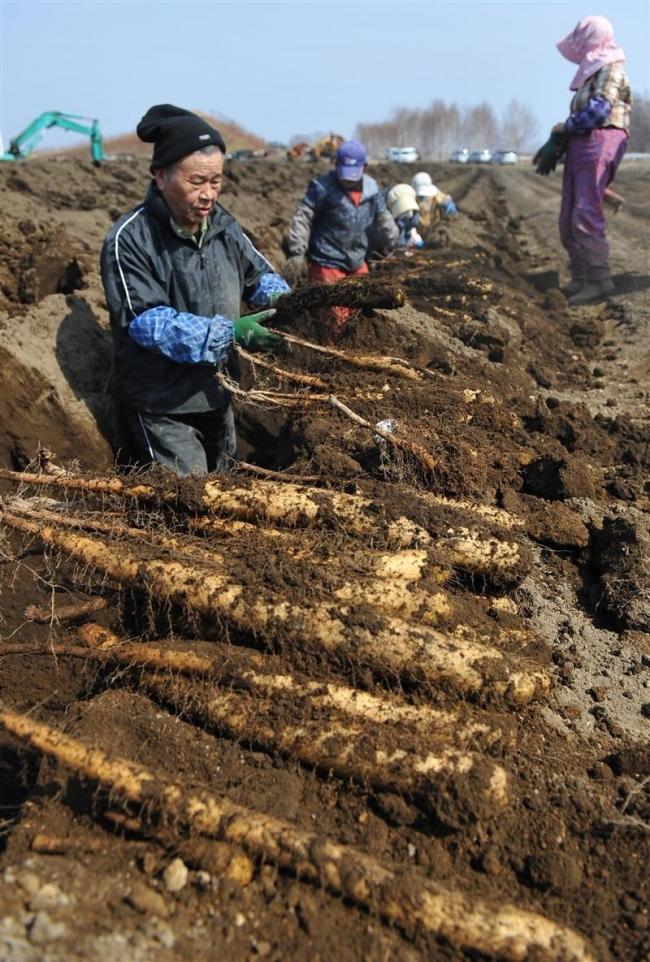 春の収穫スタート 十勝川西長いも