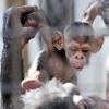 おびひろ動物園開園直前企画(4)はじめてのスマイル「チンパンジー~ピナ編~」