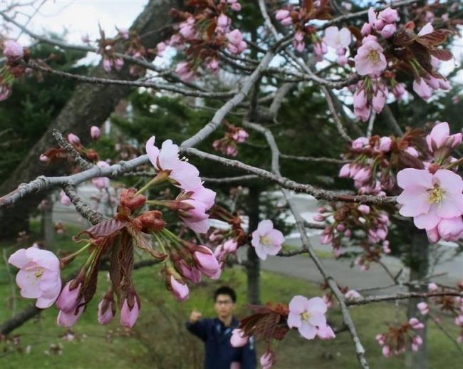 帯広でサクラ開花宣言 昨年より1日遅く