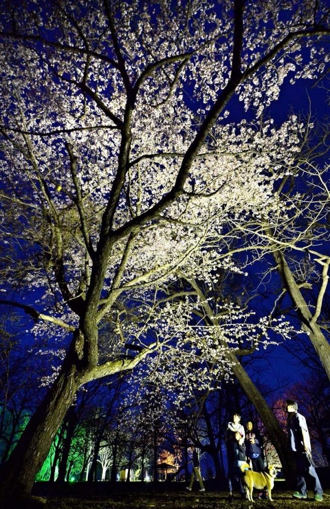 夜桜 幻想的 音更・鈴蘭公園