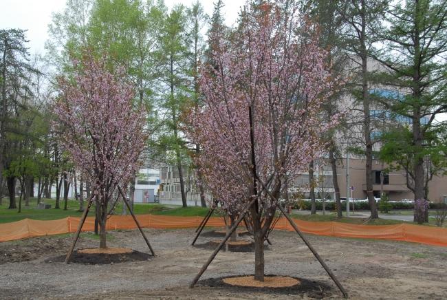 中央公園のサクラ咲く 再整備事業で4月植樹 帯広市
