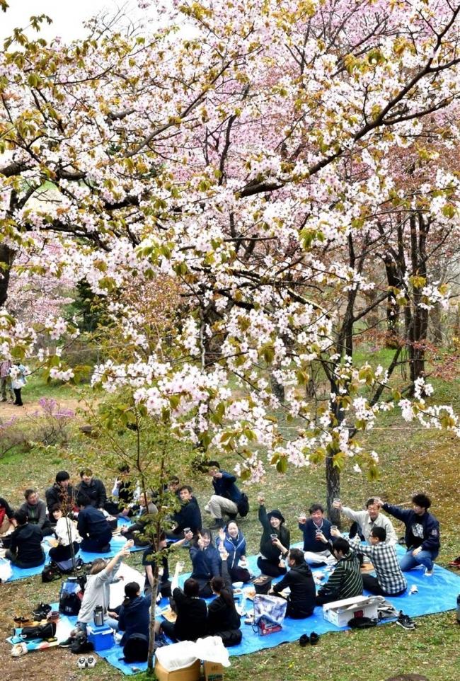満開の桜に復興への思い寄せる 新得神社山桜まつり