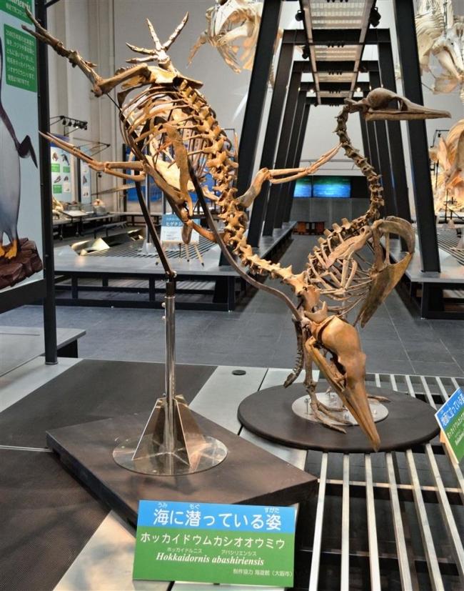 潜水姿勢のホッカイドルニス展示 足寄動物化石博物館