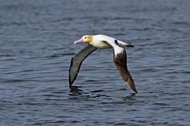 十勝沖でアホウドリ成鳥初確認 浦幌沖を渡りで北上