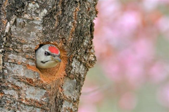 ヤマゲラがサクラの木で巣作り