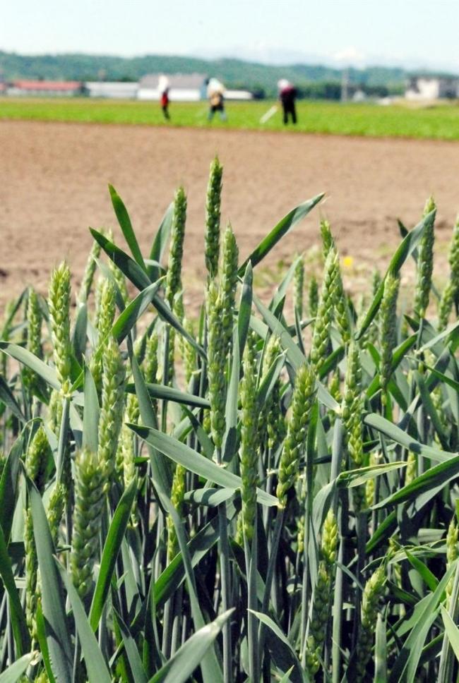 全作物で生育順調 小麦3日早く 1日作況