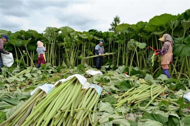 足寄名産 高々と ラワンブキ収穫