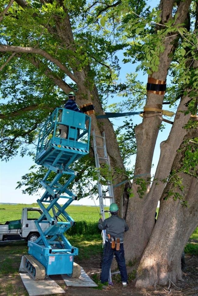 保護・修繕作業始まる 豊頃ハルニレの木
