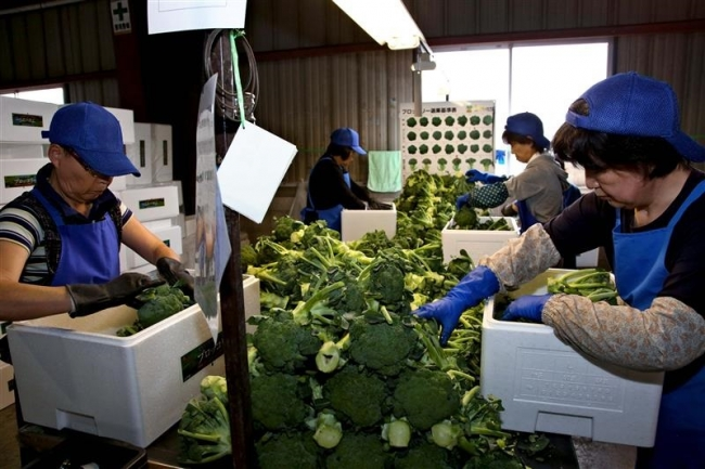ブロッコリー収穫盛ん JA木野から出荷