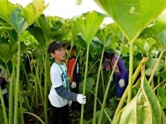 ラワンブキ収穫を体験 足寄
