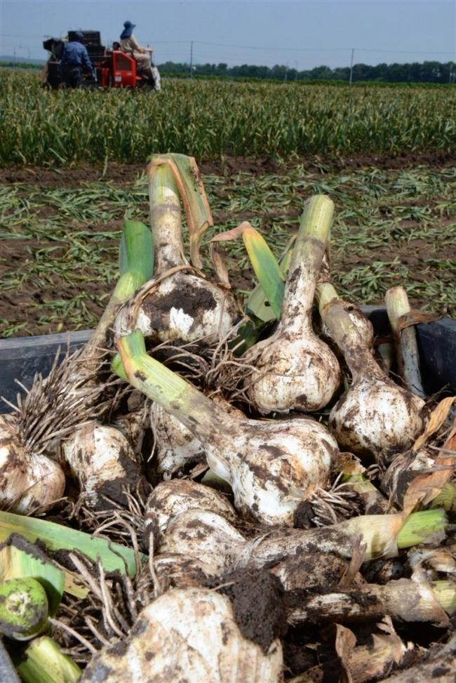 台風の影響なく順調に成長 清水町の特産品ニンニクが収穫最盛期