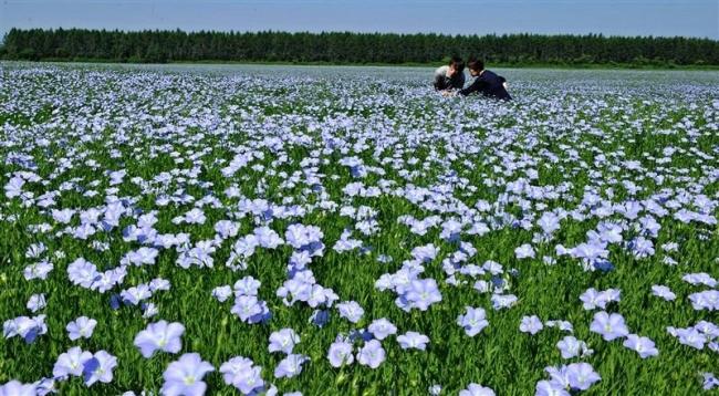 更別・亜麻の花見頃 上更別・小谷さんの畑