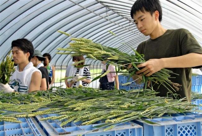 「夢降夜」の小麦収穫 22人が刈り取り乾燥