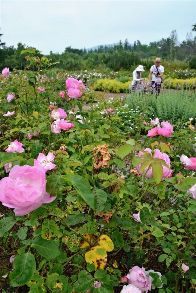 色鮮やかに満開 十勝千年の森ローズガーデンでバラ見ごろ