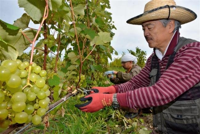 白ブドウ収穫、初の白ワインへ 池田・Far夢楽縁