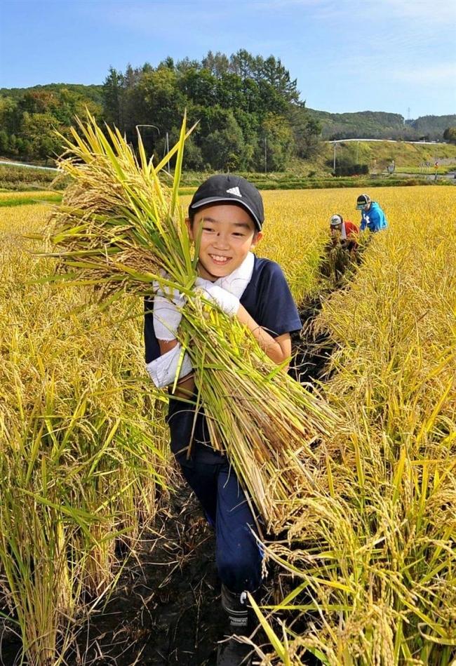 「酒米」豊作、子供らと収穫、地酒プロジェクト