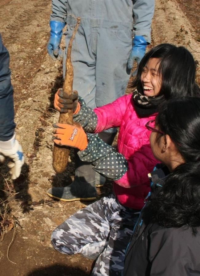 ナガイモ収穫に苦戦、笑顔 帯広第七中