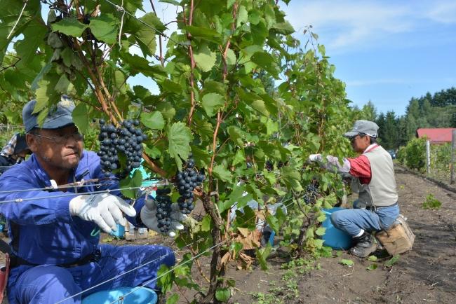 ブドウ豊作 収量最多 昨年から倍増 池田町直営ほ場