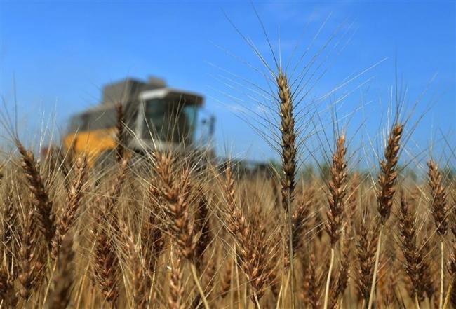 小麦豊作 15年に次ぐ23万トン販売 ホクレン