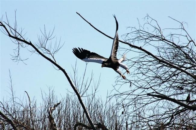 ワシの姿間近で タンチョウ飛来も期待 来年1月7日まで 十勝川観察クルーズ開始