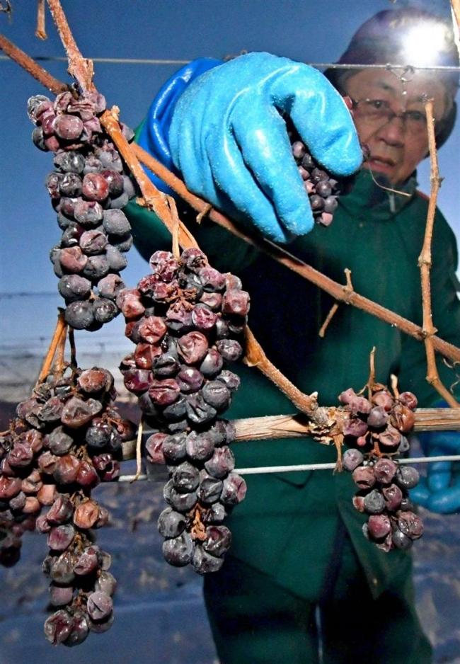 凍った房 甘さ凝縮 アイスワイン用ブドウ収穫 池田