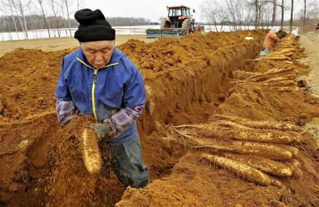 かわにしナガイモの春掘りスタート 管内9JA