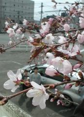 帯広でサクラ咲く 森末整形外科で早くも開花