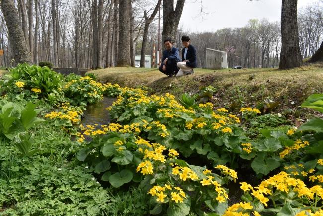エゾノリュウキンカ見頃迎える 芽室・新嵐山荘