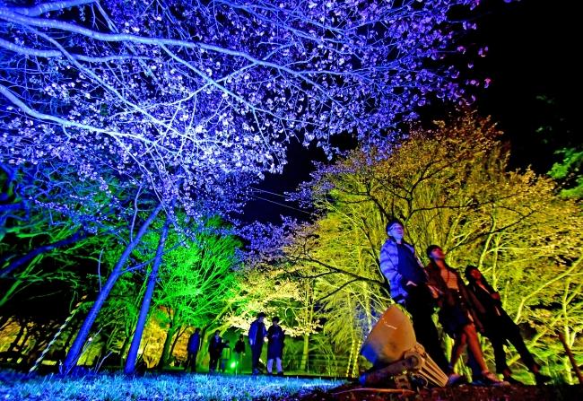 幻想的な夜桜楽しむ 鈴蘭公園 町商工会青年部