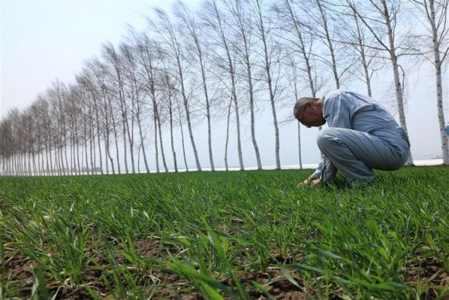 きたほなみ収量試金石 高温対策、知恵絞る 小麦主力品種