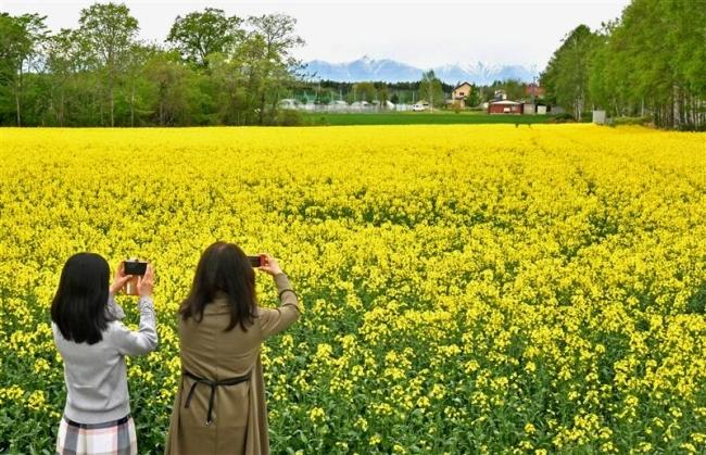 黄色のじゅうたん一面染める 菜の花見頃
