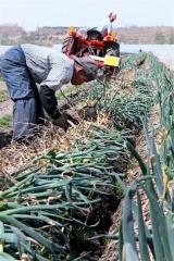 越冬長ネギの収穫始まる