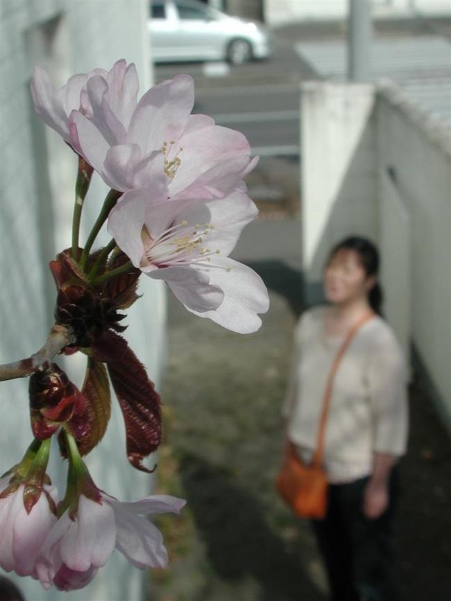 市内で早くもサクラ開花 帯広で16日の気温22度
