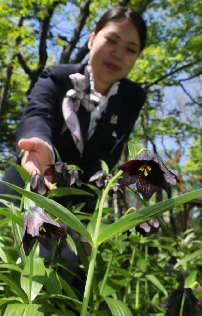 褐紫色のかれんなクロユリ今年も咲く 北海道ホテル