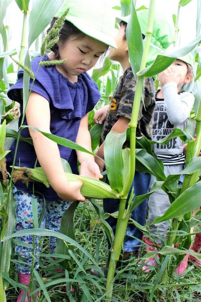 子どもたちがトウモロコシ収穫 音更・ふれあい農園