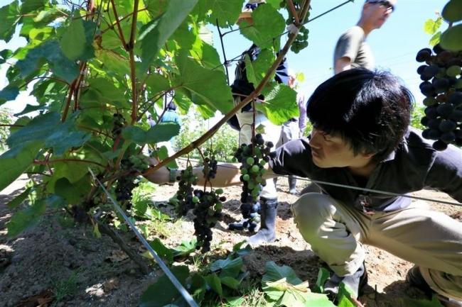 会員がブドウ畑巡り 芽室・ワインヴァレー研究会