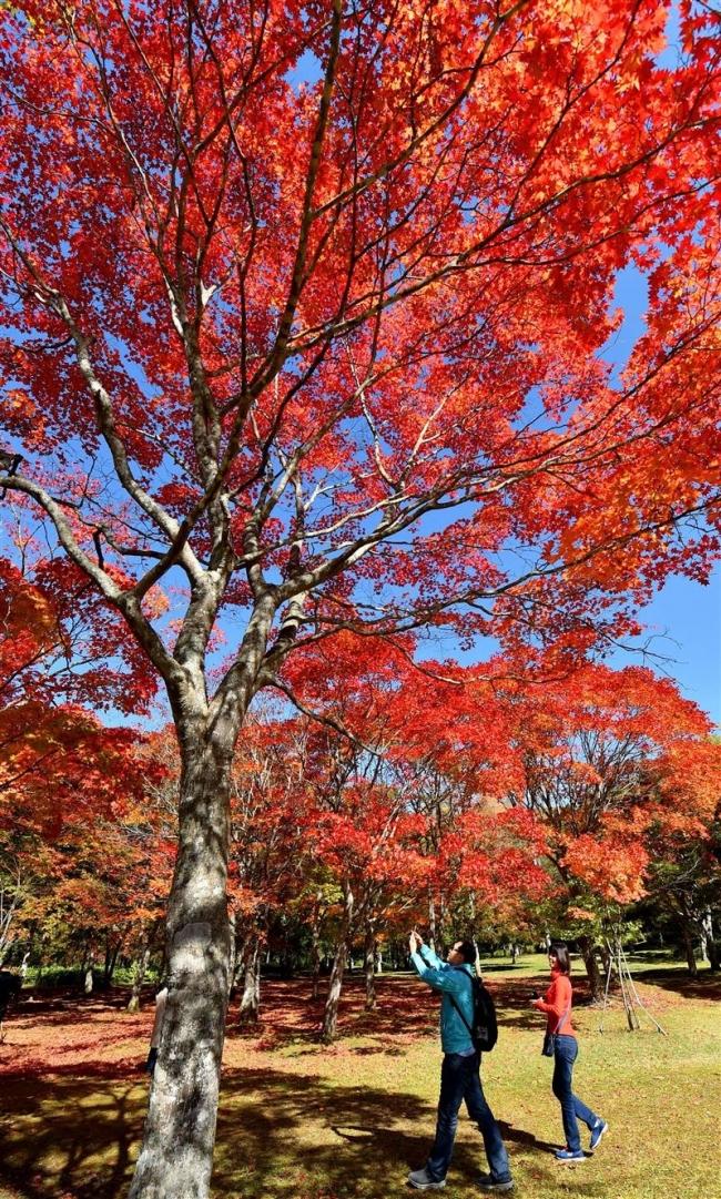 真っ赤なじゅうたん広がる 鹿追町の福原山荘で紅葉ピーク