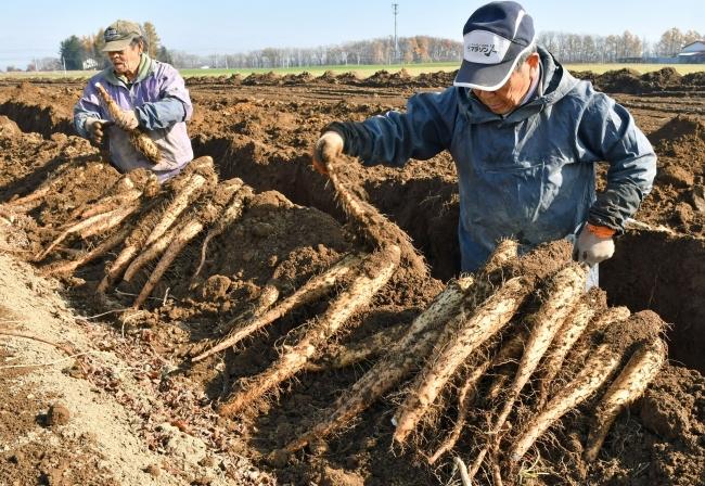大ぶり ナガイモ解禁 「十勝川西」収穫 9JAで