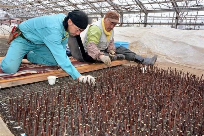 ブドウの苗木作り始まる 池田