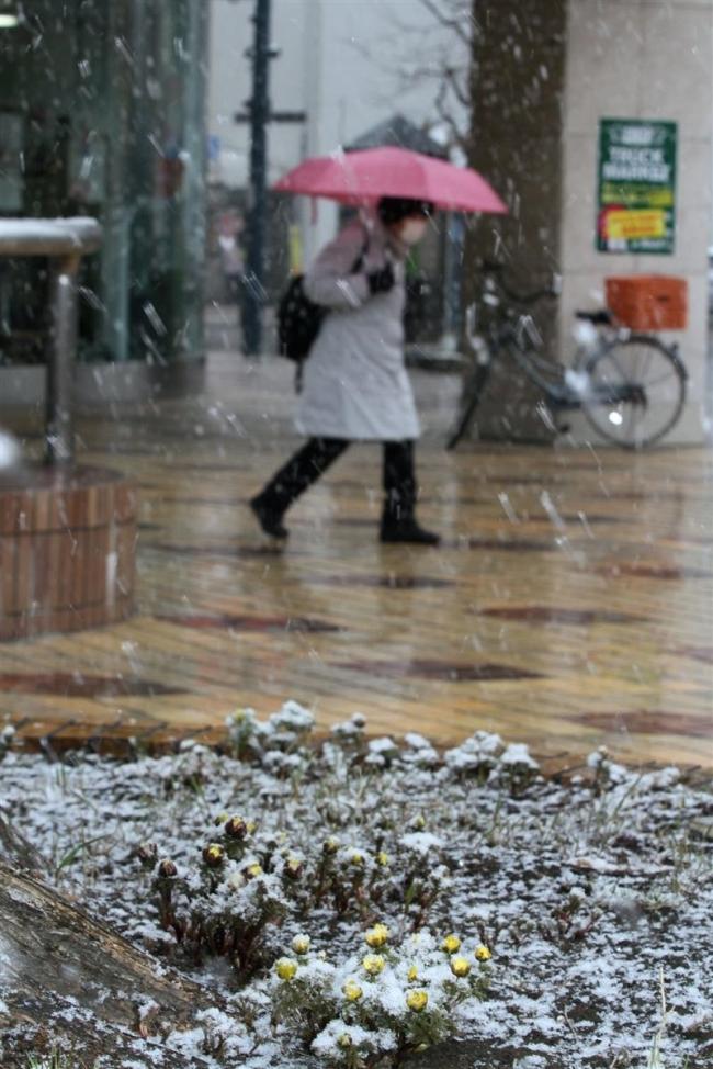 雪、福寿草覆う 管内多いところで10~20センチ予報
