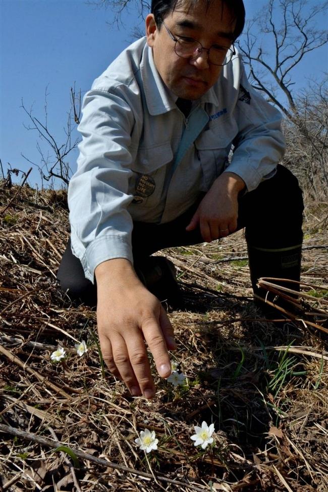 ウラホロイチゲ咲き始める 浦幌