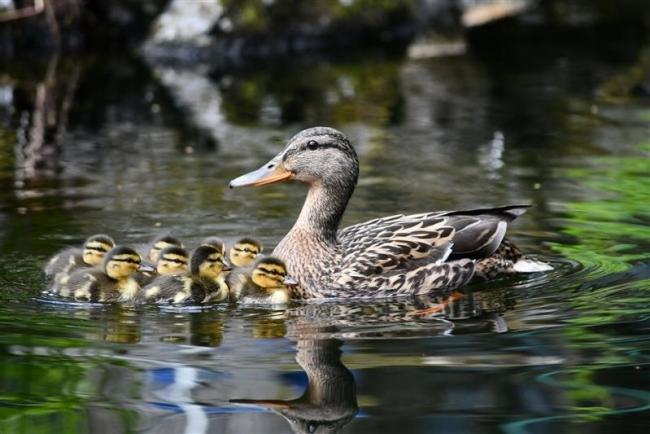 マガモ 親子一緒にすいすいと 音更の庭園池