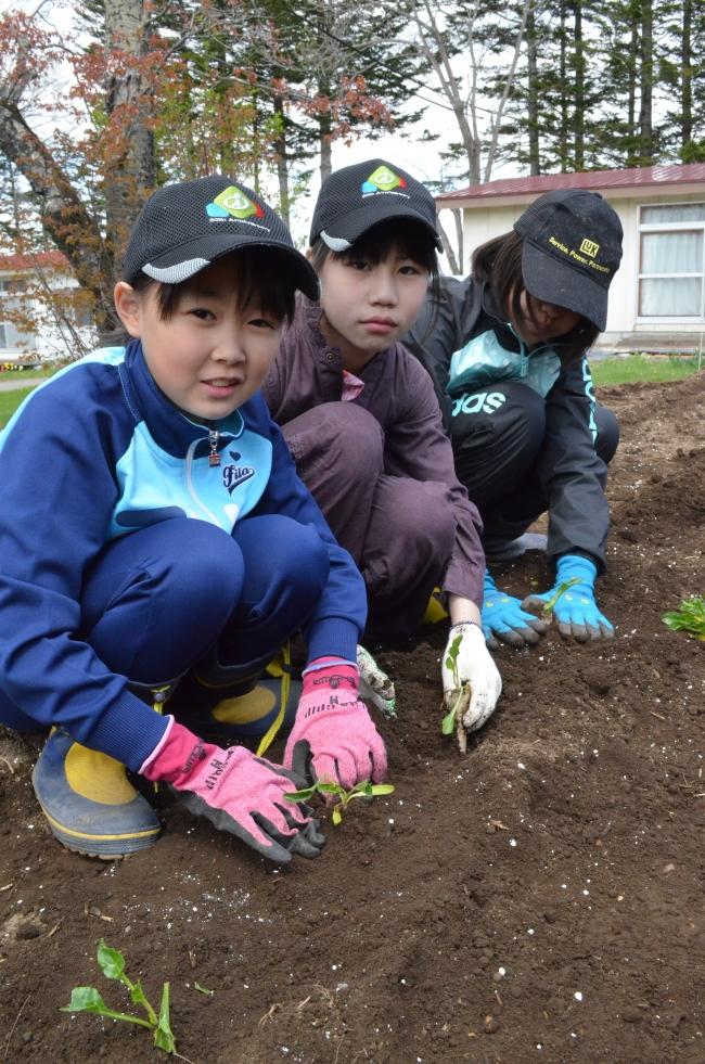 ビートの苗植え 小豆も栽培しあん作りへ 幕別明倫小