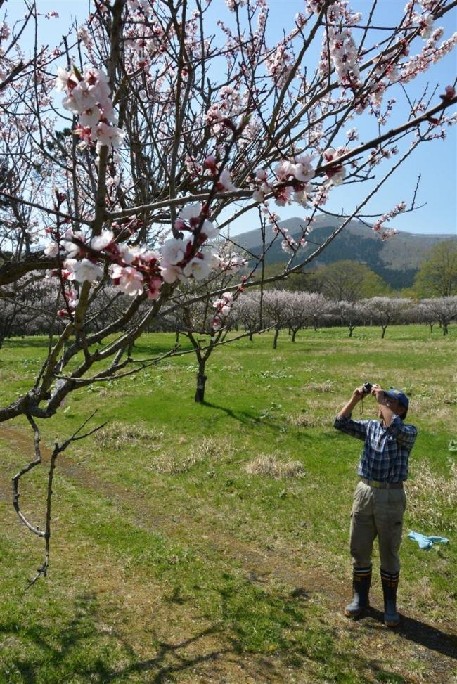 梅の花満開 新得町の狩勝高原梅園