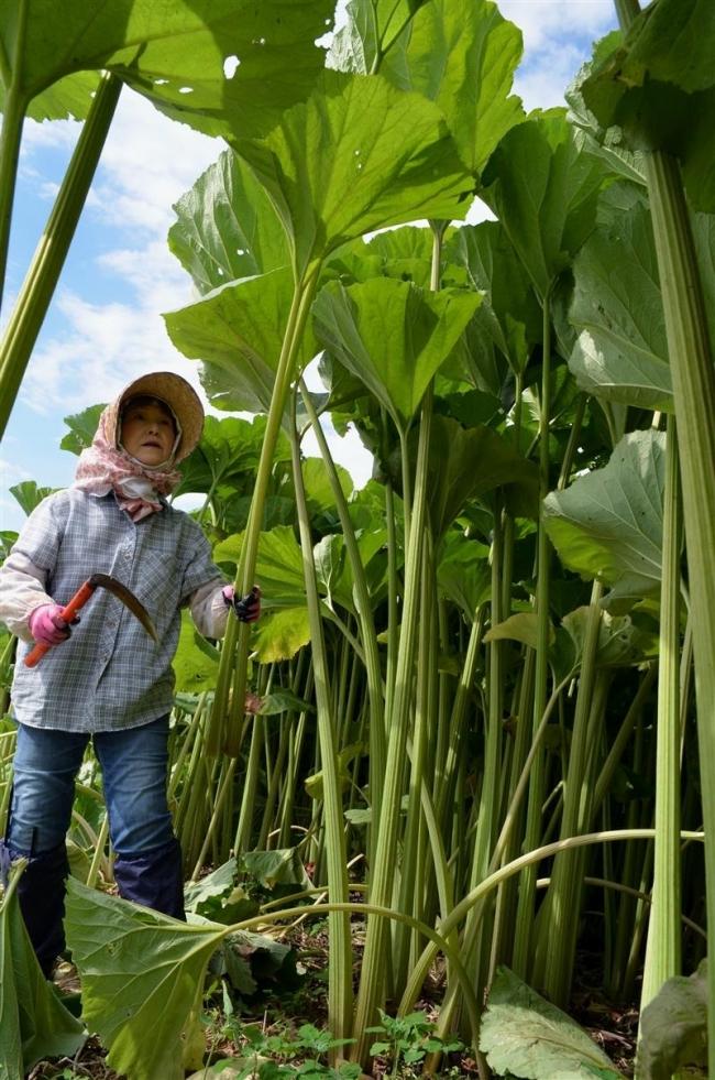 長さ2メートル超 ラワンブキ収穫スタート 足寄