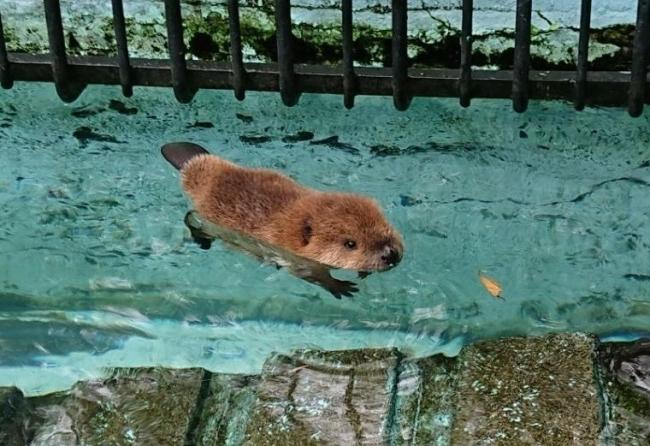 アメリカビーバーの赤ちゃん2頭誕生 おびひろ動物園