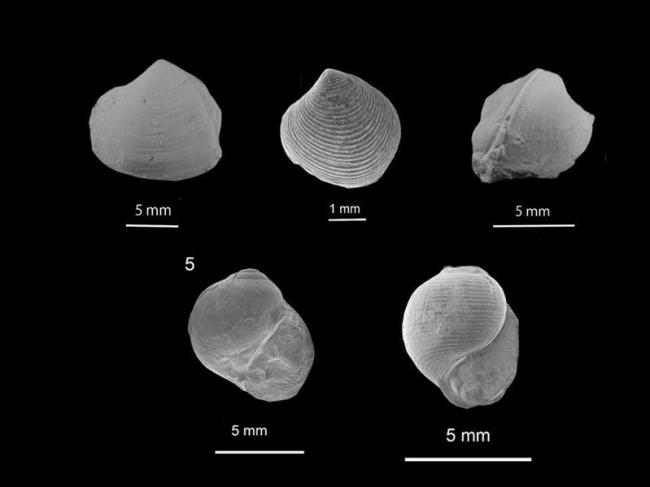 上越教育大の天野教授、浦幌の地層から新種の貝化石5種発見