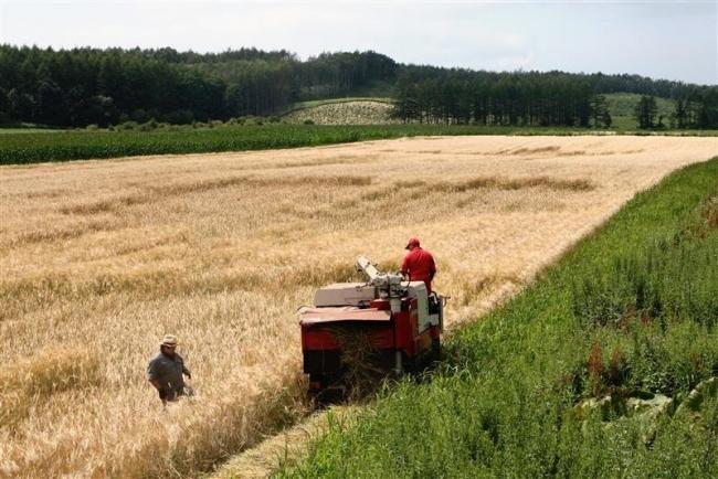 大麦を刈り取り 士幌・地ビール研究会